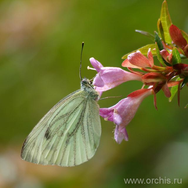 На абелии сидит бабочка