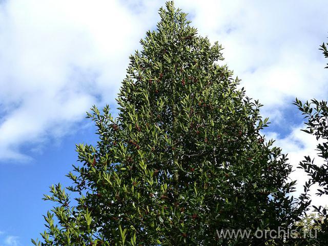 Падуб остролистный дерево фото