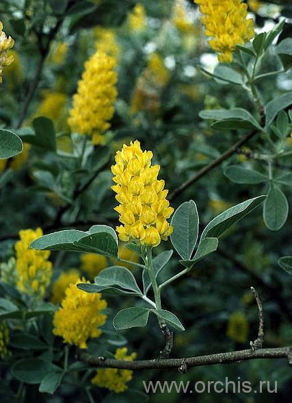 куст ракитника с желтыми цветами