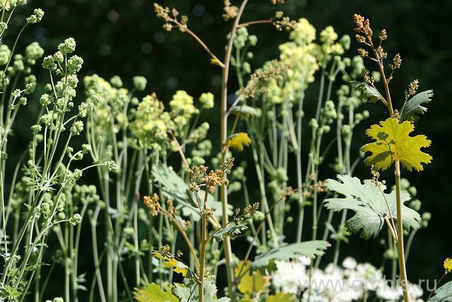 лекарственное растение маклея