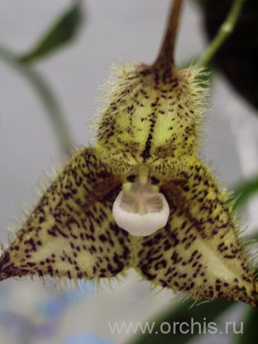 Фотография орхидеи Дракула, описание