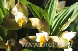 Фотография орхидей домашних, посадка и уход