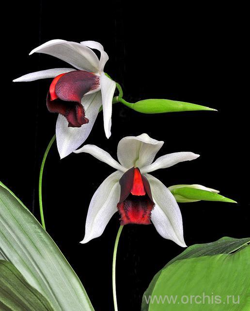 фотография орхидеи целогина