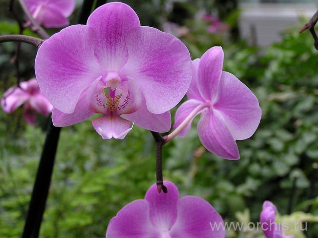 Орхидея фаленопсис. Уход в домашних условиях