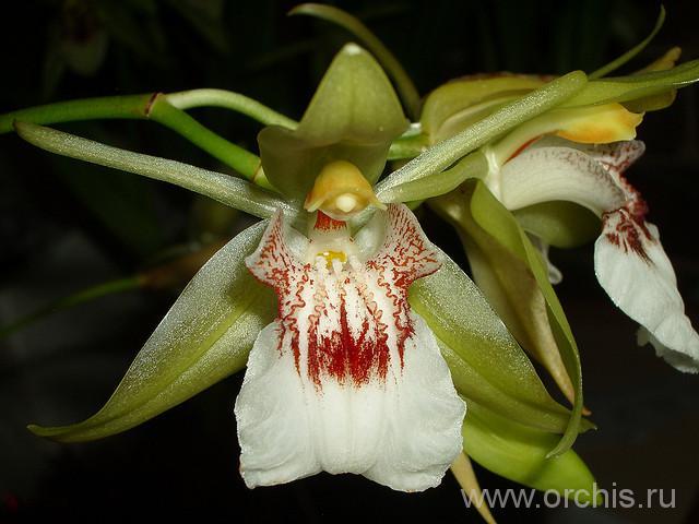 Фотография Целогина орхидея