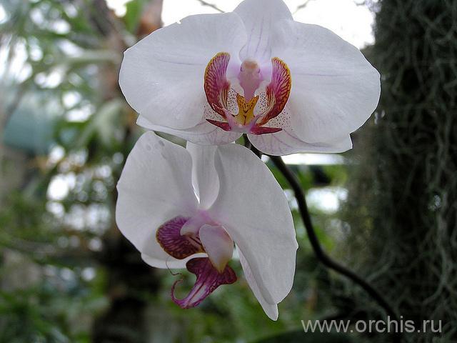 Уход за орхидеями в домашних условиях, фото