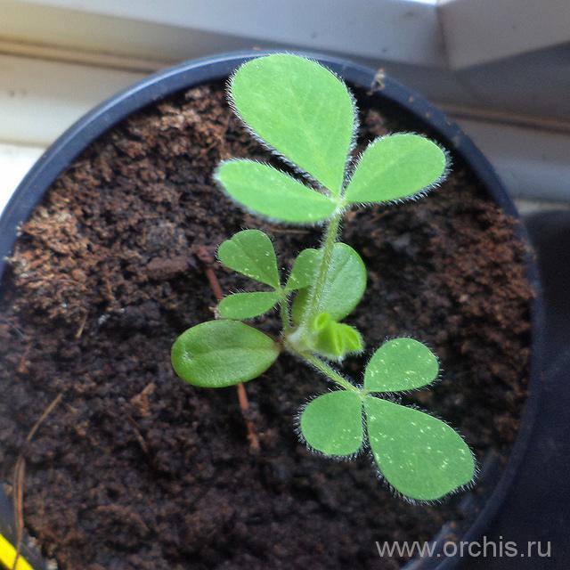 Ракитник размножение семенами