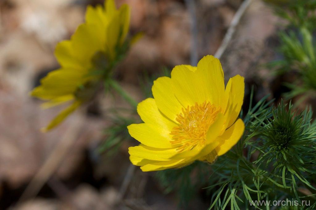 Адонис фото желтый