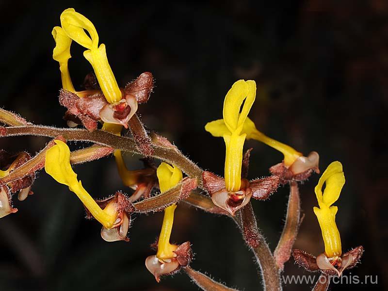 anoectochilus описание и фото