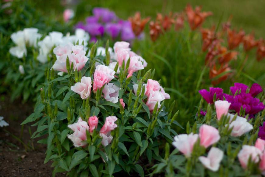 Цветок годеция описание и фото
