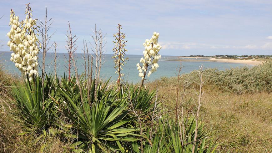 Растение Юкка в природе, описание и фото.