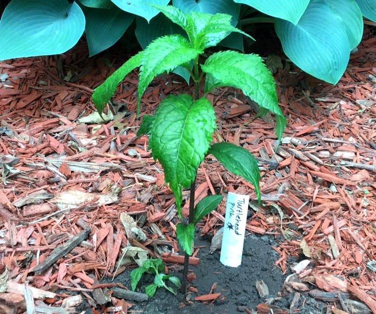 как правильно высаживать растение Хелоне