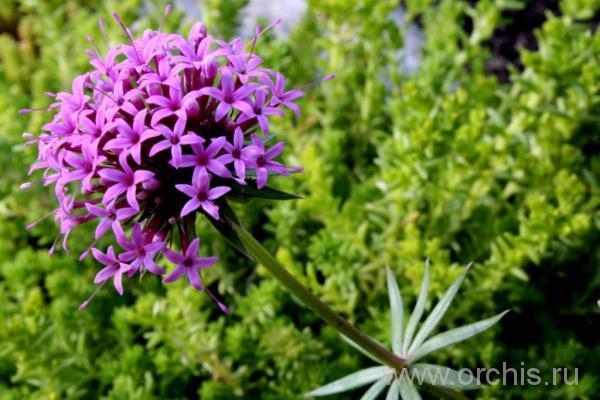 Описание и фото цветка Фуопсис