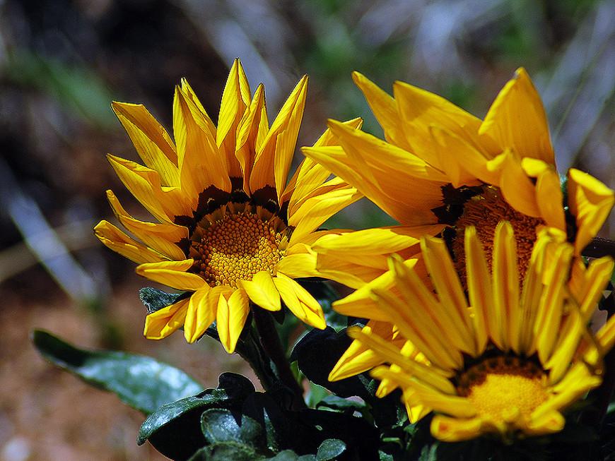 Растение Газания