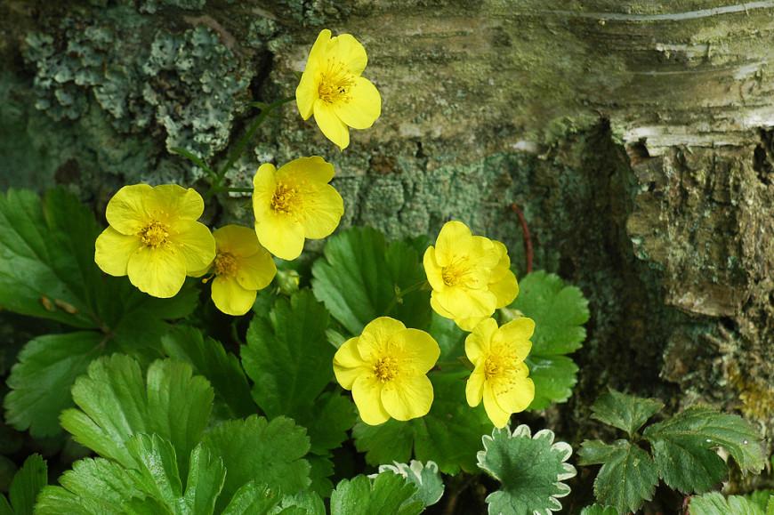 Waldsteinia растение для вашего сада