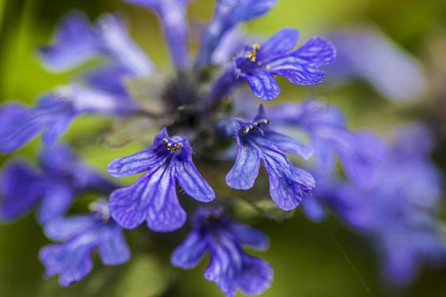 Растение Аюга или Живучка