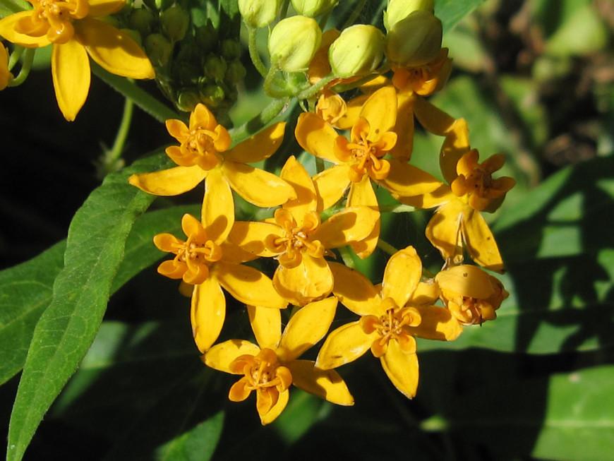 Фото растения ваточник