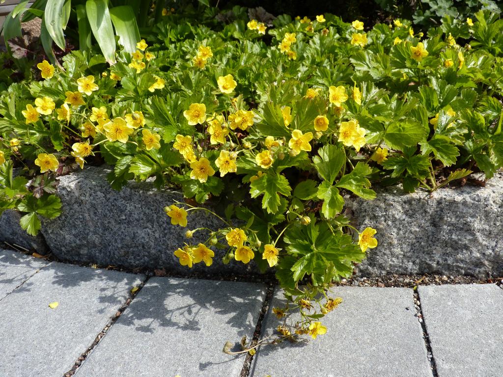 Вальдштейния выращивается возле бардюр