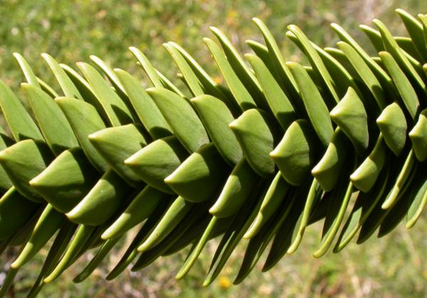 прекрасное дерево Araucariaceae