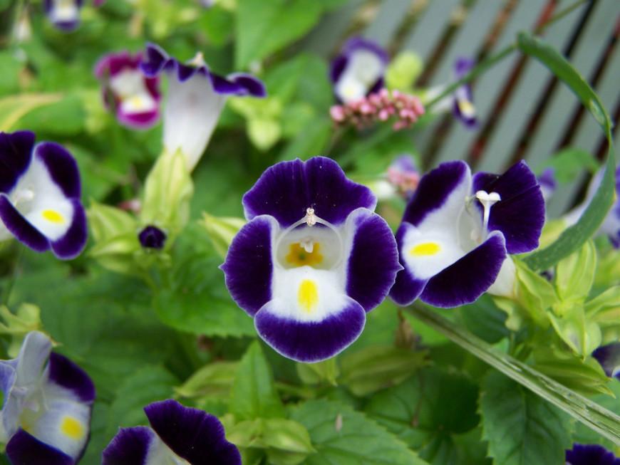 описание и фото растения торения