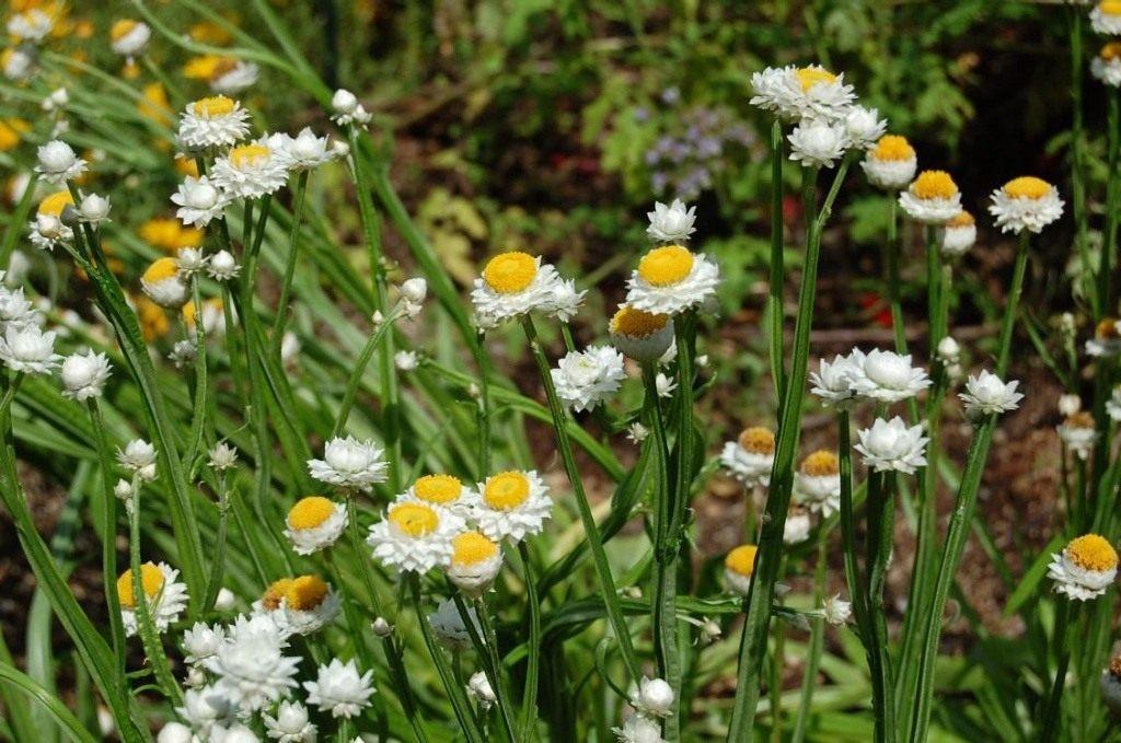 фото цветов аммобиума