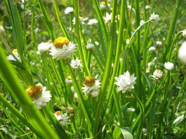 описание и фото растения аммобиум