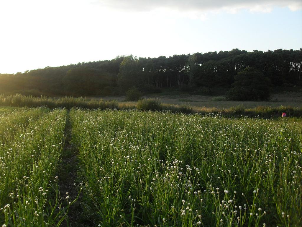посадка и выращивание растения аммобиум
