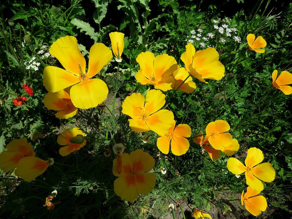 фотография Эшшольции в саду
