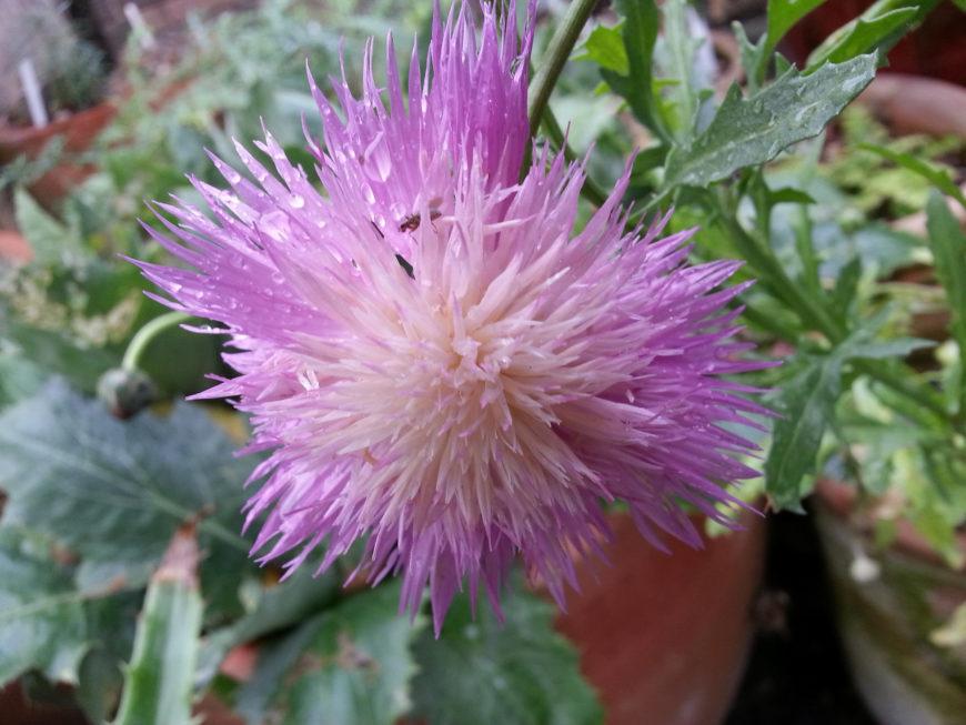 Описание и фото растения амбербоа