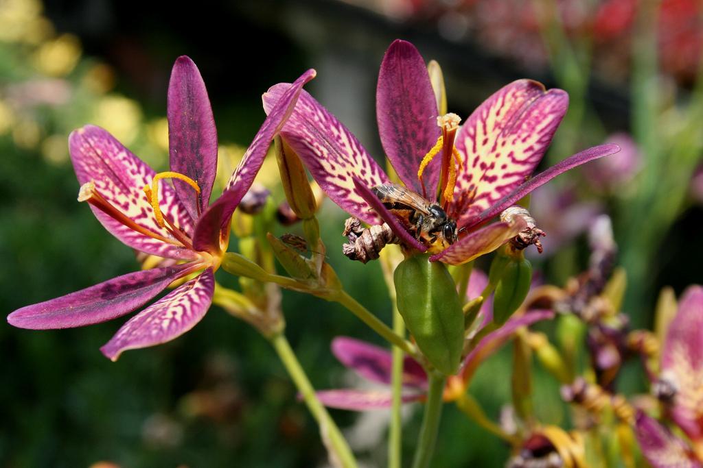 беламканда растение