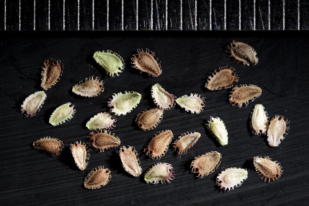 фото семян брахикомы