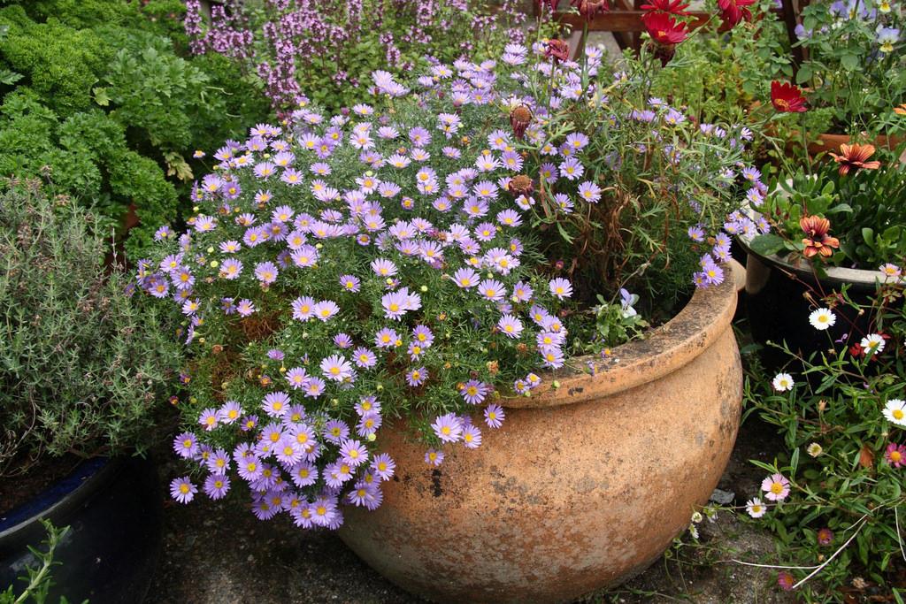 популярные сорта и виды цветка брахикома
