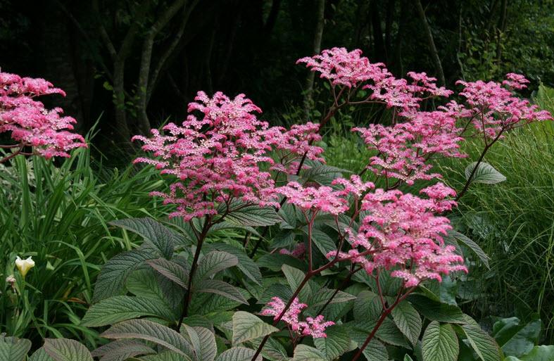 цветение роджерсии
