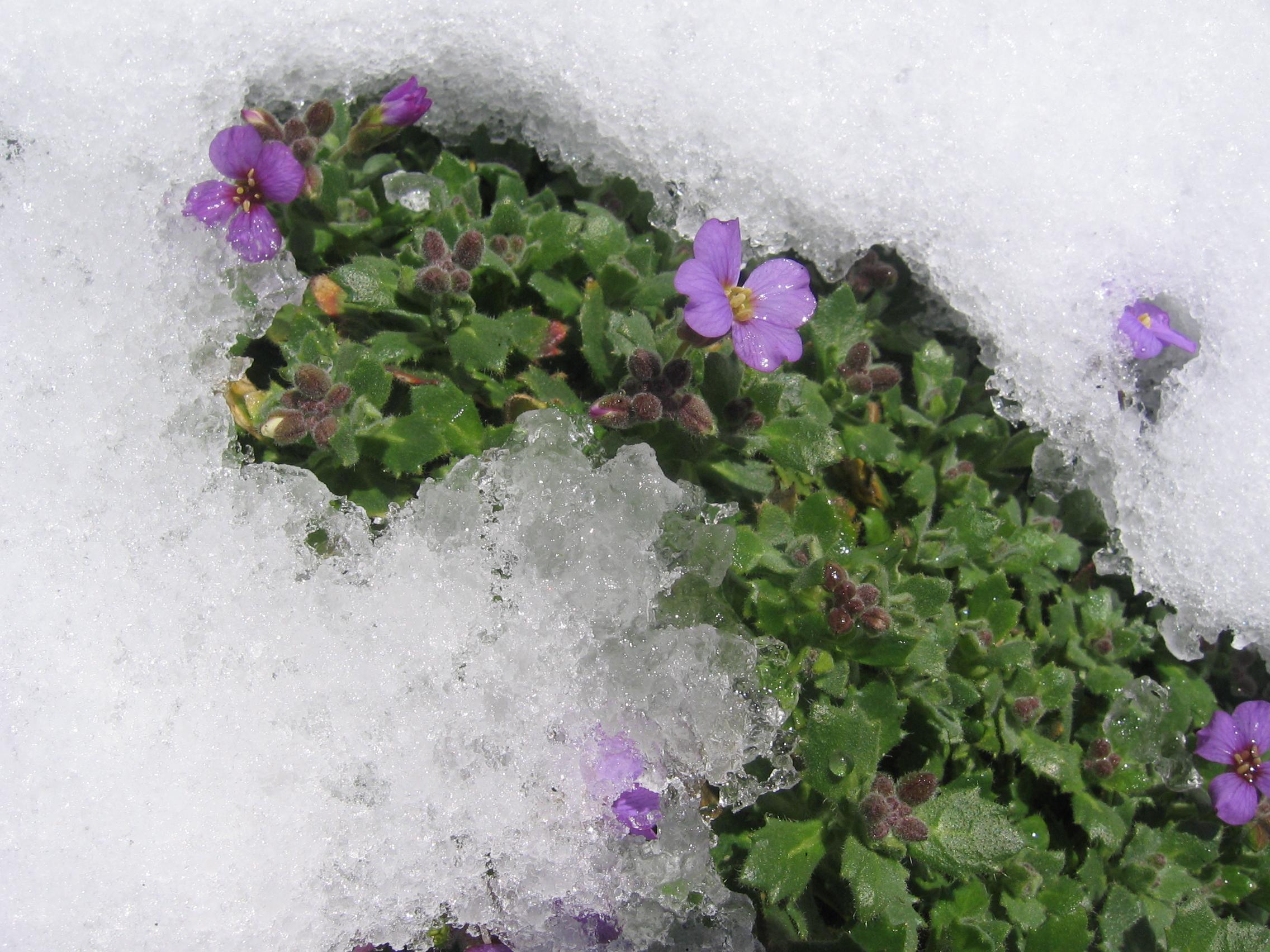 Зимастойкость обриеты