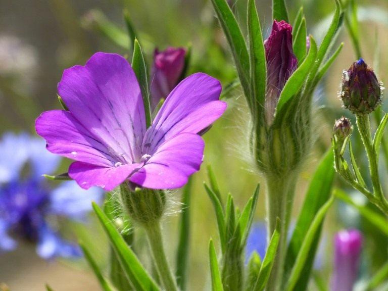 Агростемма или полевая гвоздика на фотографии