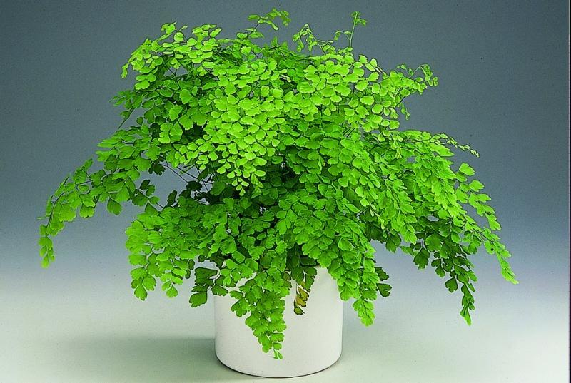 Адиантум - прекрасное комнатное растение