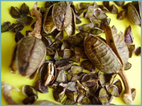 Семена Книфофия