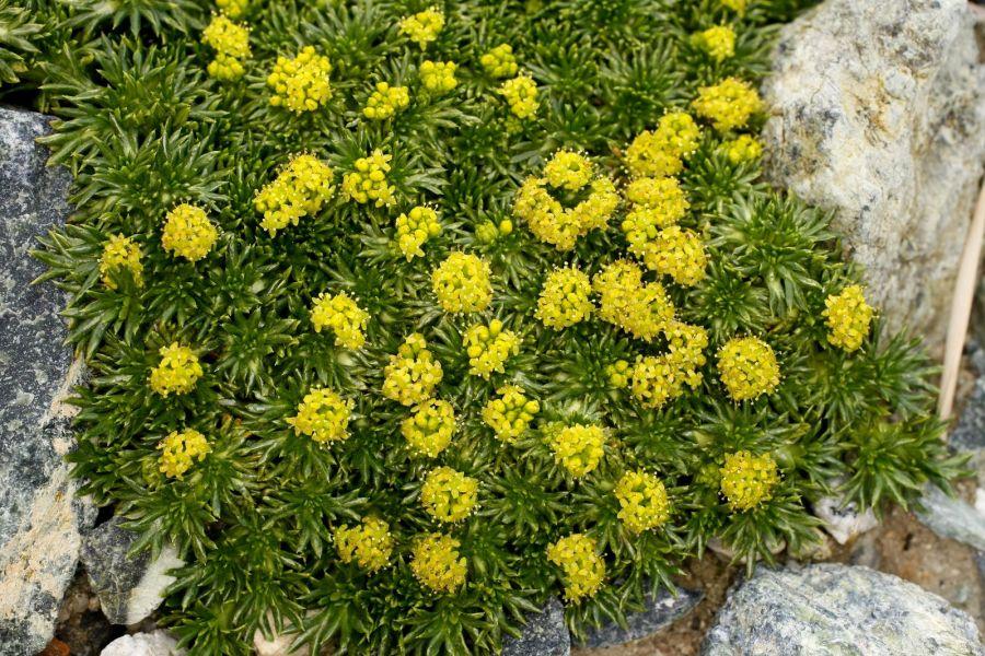 Азорелла цветение