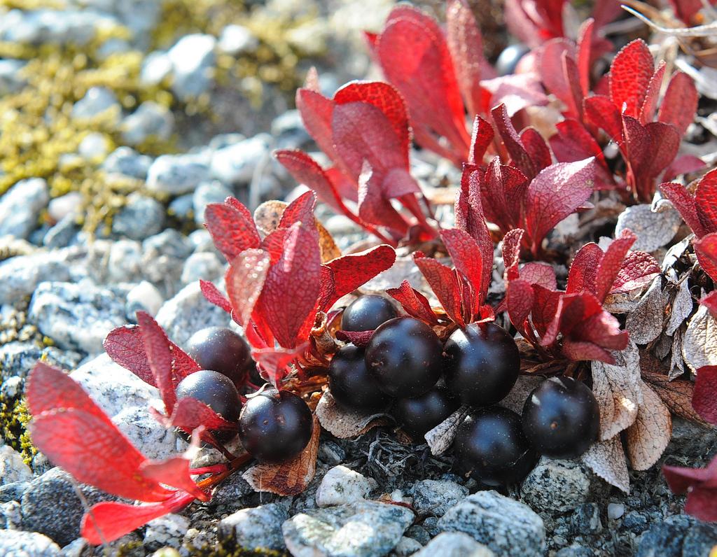 арктоус или гром-ягода
