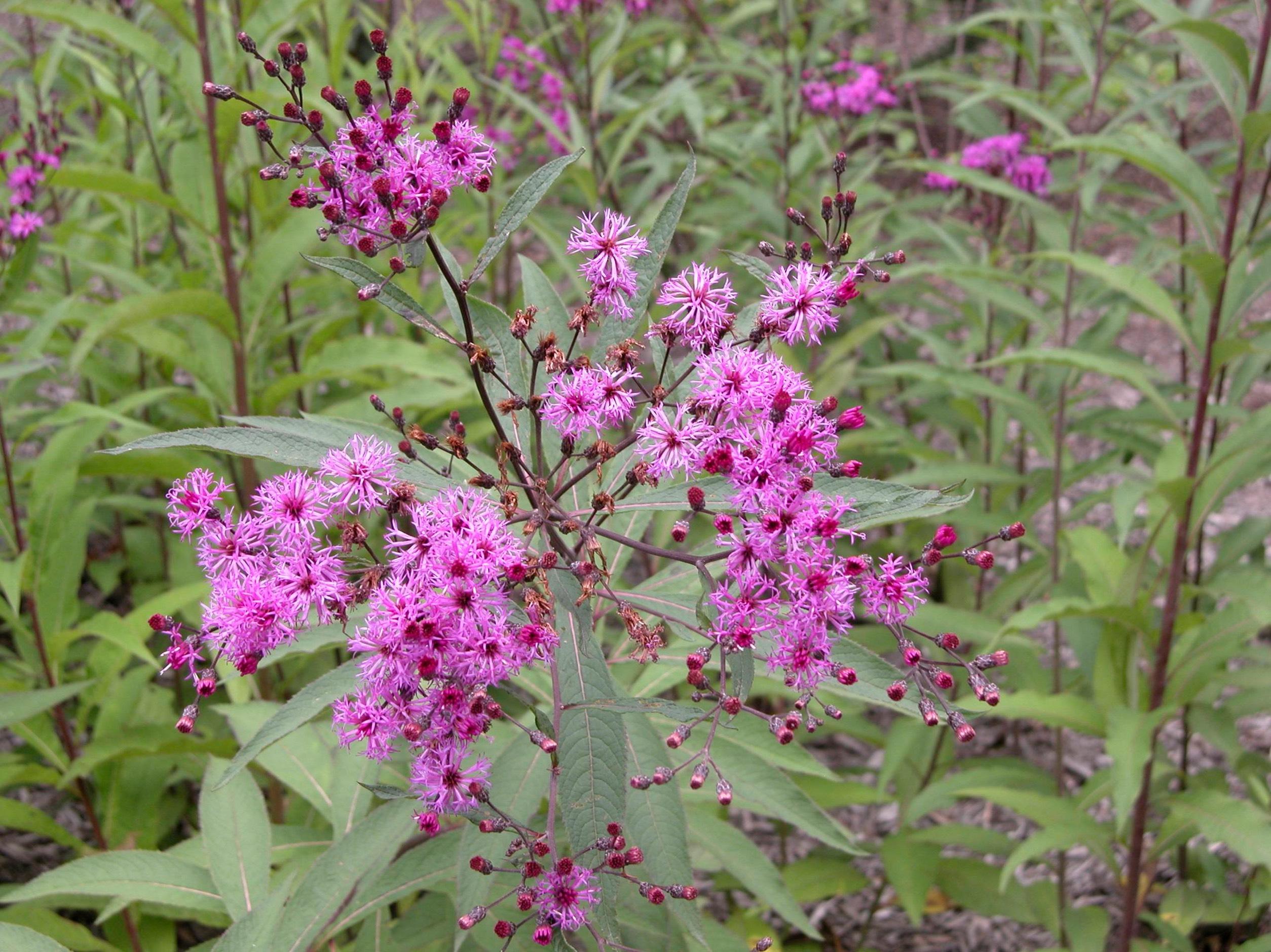 Вернония (лат. Vernonia)