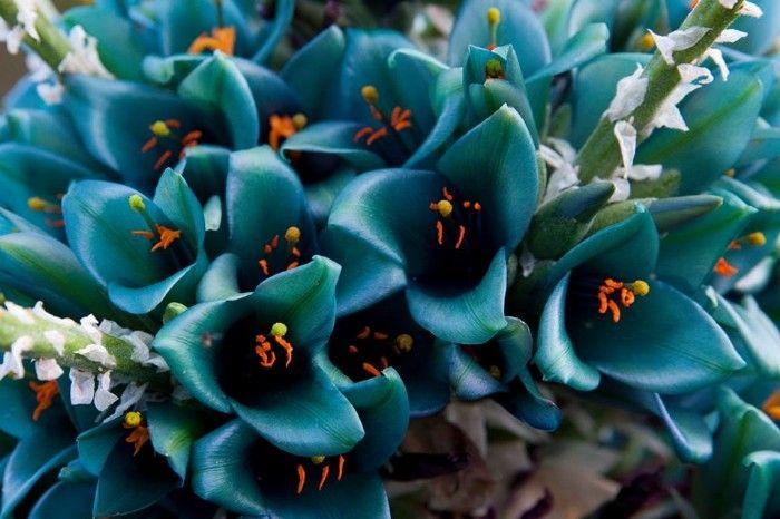 Blue Puya