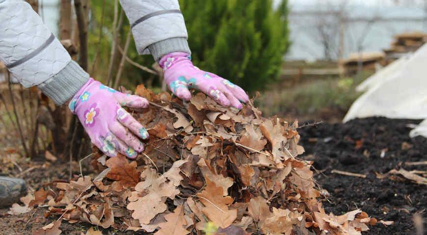 Прикрытие корней кореопсиса листвой на зиму