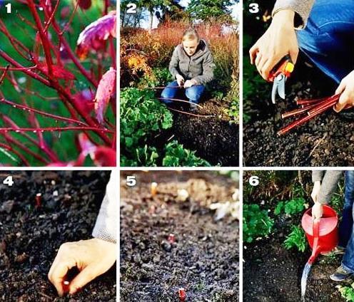 шесть шагов по размножению и посадки дерена (кизила)