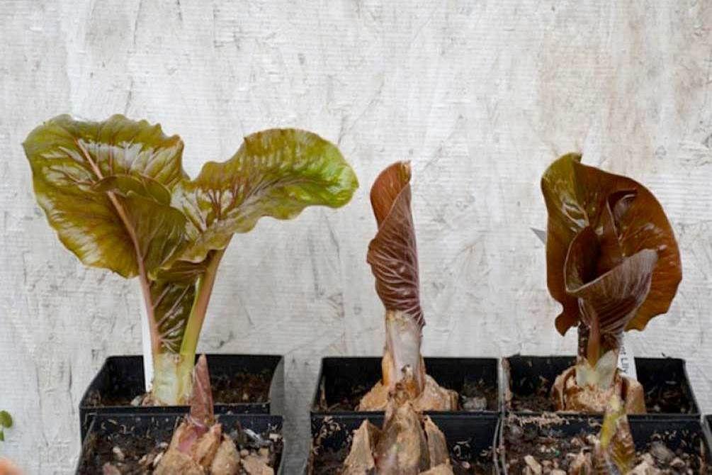 Проростание цветка Кардиокринум