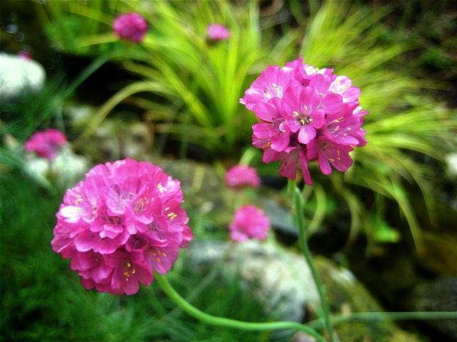 Цветущее растение армерия