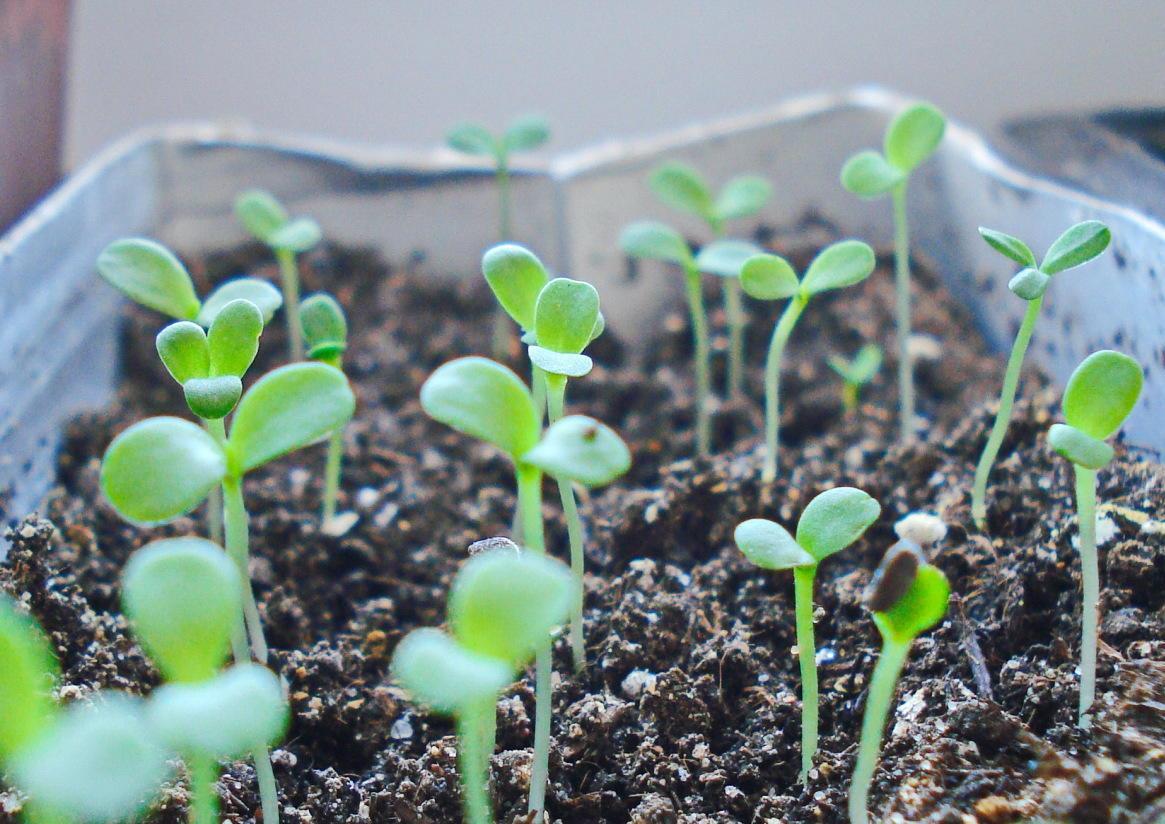 выращивание китайской астры рассадным способом