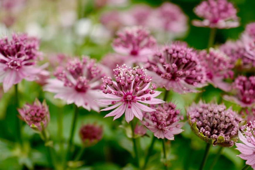 Цветущее растение астранция