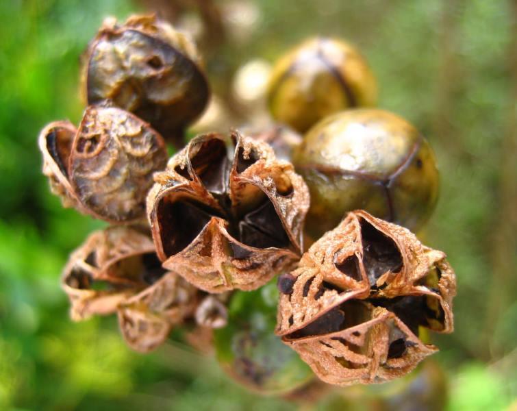 Размножение асфоделины семенами