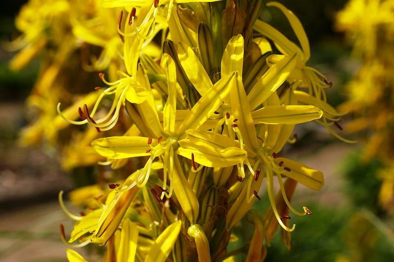Асфоделина фото и описание растения