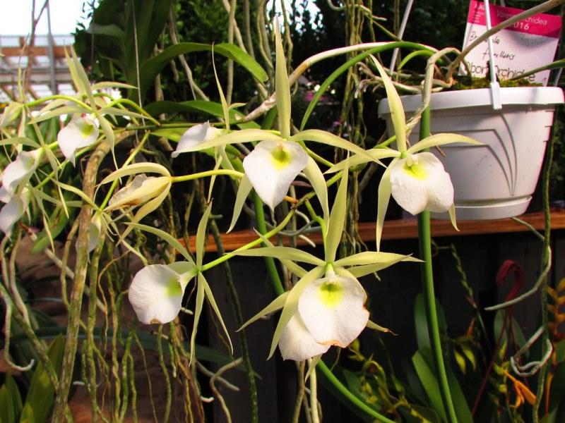 Правила ухода за орхидеей брассаволой